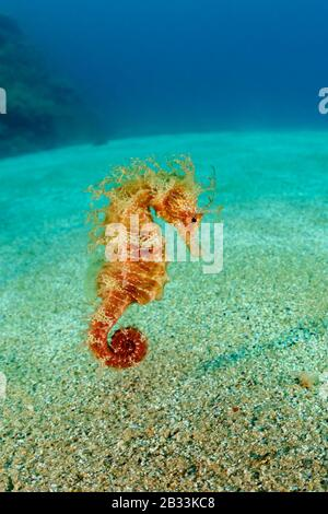 Long-snouted seahorse, Hippocampus guttulatus, Tamariu, Costa Brava, Spain, Mediterranean Sea