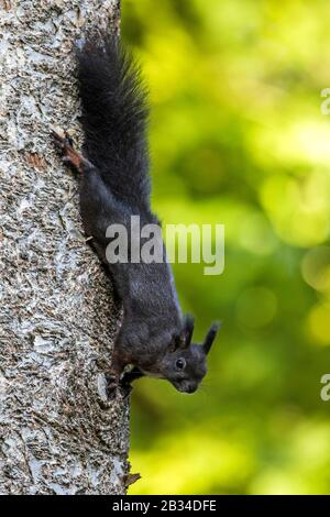 European red squirrel, Eurasian red squirrel (Sciurus vulgaris), black variety at a tree trunk, side view, Germany, Baden-Wuerttemberg