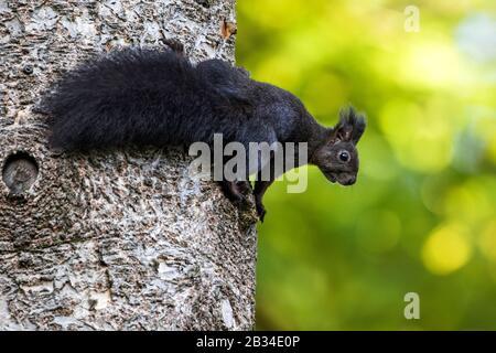 European red squirrel, Eurasian red squirrel (Sciurus vulgaris), black variety at a tree trunk, Germany, Baden-Wuerttemberg
