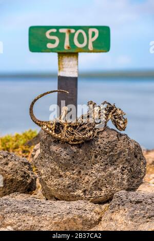 Ecuador, Galápagos Archipelago, listed as World Heritage by UNESCO, Santa Cruz Island, Plaza South Island, carcass of Galapagos land iguana (Conolophus subcristatus) parched in front of a stop sign before the cliff - Stock Photo