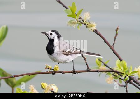 Bachstelze mit Futter, (Motacilla alba), - Stock Photo