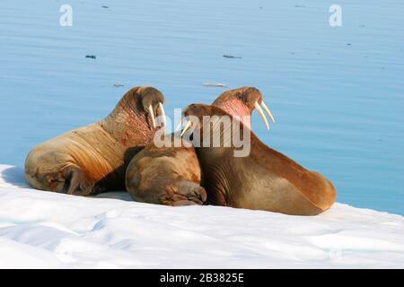 Drei Walrosse auf Eisscholle, Andreeland, Spitzbergen, Norwegen,