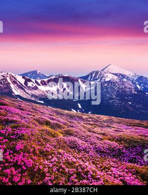 Rhododendron flowers covered mountains meadow in summer time. Purple sunrise light glowing on snowy peaks on background. Landscape photography