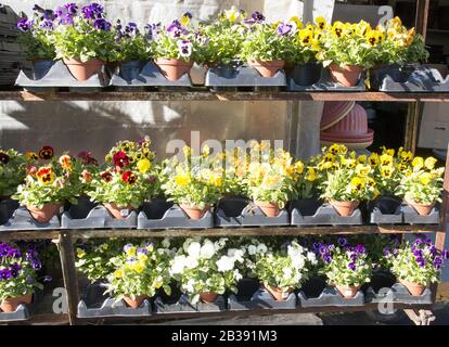 Fall pansies potted flowers are for sale at a local farm. - Stock Photo