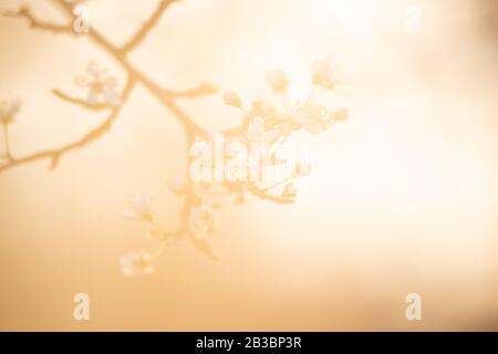 Spring blossom background. Beautiful nature scene with blooming tree and sun flare. Sunny day. Spring flowers. Beautiful Orchard. Abstract blurred bac - Stock Photo