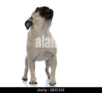 Eager pug curiously looking upwards with his mouth open while standing on white studio background - Stock Photo