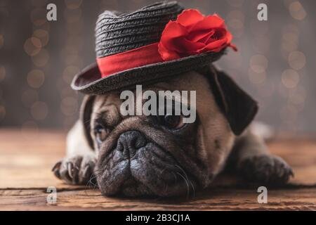 sad pug dog wearing black hat lying down and looking aside on gray background - Stock Photo
