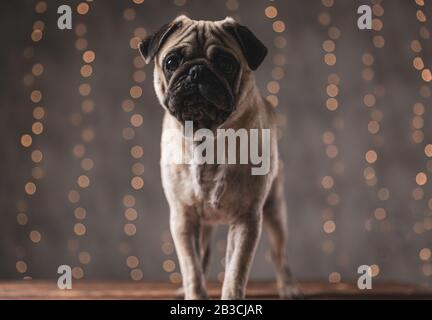grumpy pug dog with brown fur standing and waiting for atention on gray background - Stock Photo
