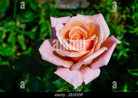 Close up of a beautiful pink rose which can be use as a greeting card - Stock Photo