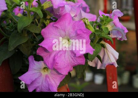 Pink pitunia flowers image under the sun with blur background - Stock Photo