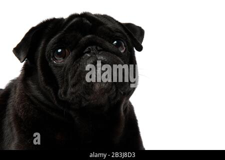 Close up of an adorable black pug looking upwards with puppy eyes on white studio background - Stock Photo