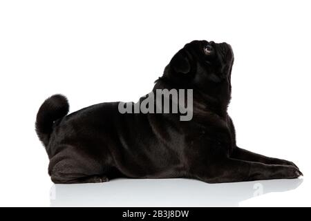 Side view of a mystified pug looking upwards while lying down on white studio background - Stock Photo