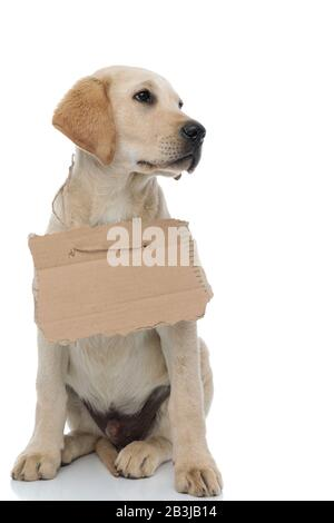 cute homeless labrador retriever puppy wearing a blank sign at its neck looks to side away from the camera on white background - Stock Photo