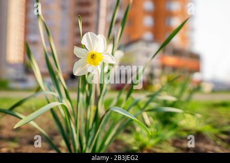 Close-up of a narcissus flower in early spring against a blurry city background - Stock Photo
