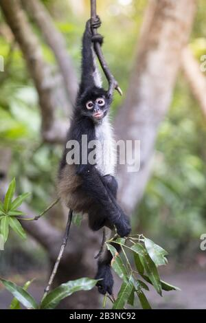 Critically Endangered Nicaraguan sub-species of the Black-handed (Geoffroy's) spider monkey (Ateles geoffroyi geoffroyi), El Salvador, Central America - Stock Photo
