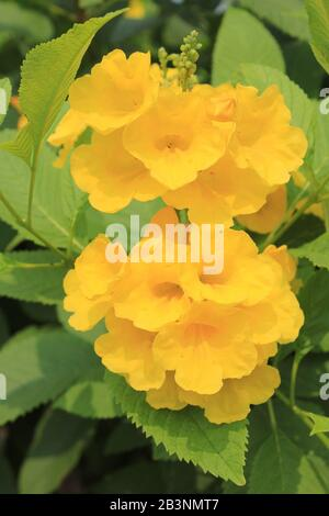 Yellow Trumpetbush a.k.a. Yellow bells, Yellow elder (Tecoma stans)