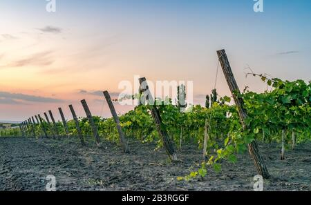 Beautiful Vineyard rows at sunset with trees in the background in Europe. Vineyards at sunset with beautiful sky. - Stock Photo