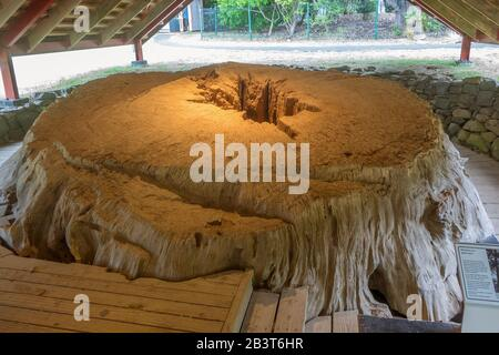 New Zealand, North Island, Bay of Islands, Waitangi, Remains of great Kauri tree from which Haka canoe was made - Stock Photo