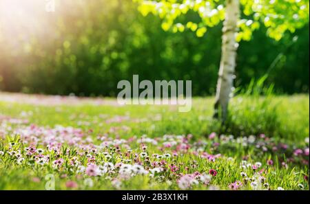 Meadow with lots of white and pink spring daisy flowers in sunny day - Stock Photo