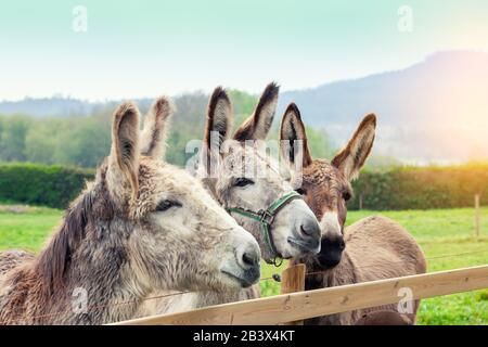 Family of donkeys outdoors in spring. Three donkeys on the meadow - Stock Photo