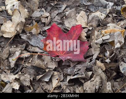 Fallen Autumn leaves, one red leaf amongst the brown. - Stock Photo