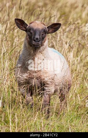 Shropshire Sheep (Ovis aries) on moorland during summer time