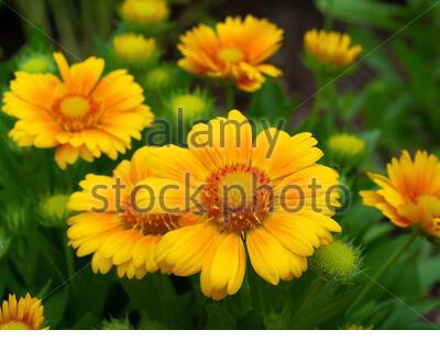 Indian Blanket Flower cultivar, Gaillardia grandiflora hybrid, golden yellow with orange color inner petals, button-eyed center with tubular florets - Stock Photo