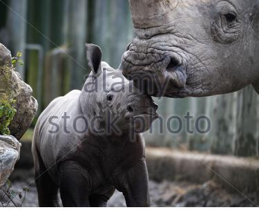Southern White Rhino calf and mother in Dublin Zoo - Stock Photo