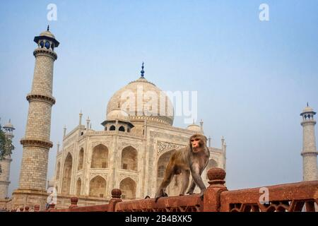 Taj Mahal with a monkey, Indian Symbol - India travel background. Agra, Uttar Pradesh, India. This is one of the excursion of the Luxury train Maharaj - Stock Photo