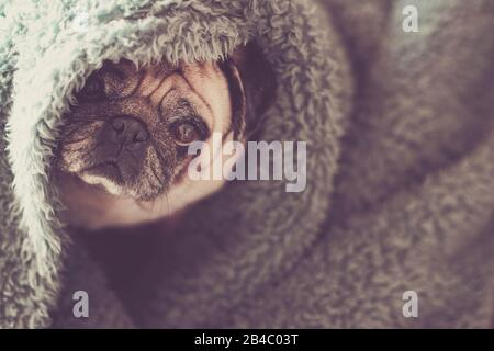 Protection and hidden dog concept with nice funny pug under blue cover at home canine lazy lifestyle and animal portrait