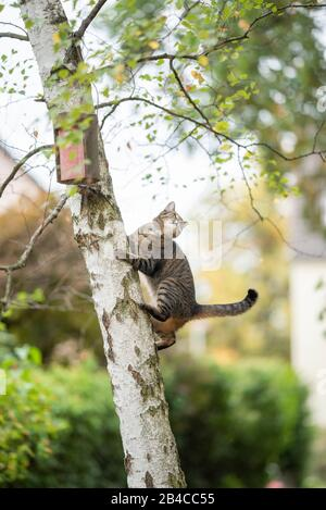 tabby domestic shorthair cat climbing up birch tree with birdhouse in the back yard looking away observing birds - Stock Photo