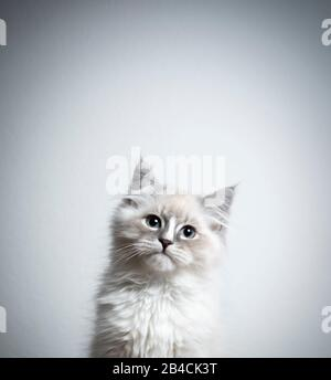 portrait of a cute blue silver tabby point white ragdoll kitten looking at camera tilting head in front of white background with copy space - Stock Photo