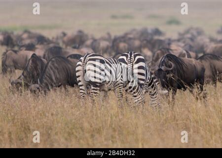 Northern Tanzania, in May, Serengeti National Park, Ngorongoro Crater, Tarangire, Arusha and Lake Manyara, two zebras and a gnu herd in the savannah North Tanzania, Arusha National Park, armed ranger escorts a tourist. - Stock Photo