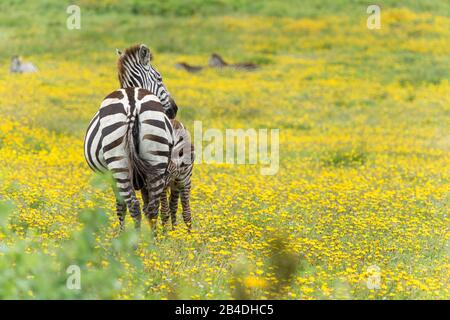 Tanzania, Northern Tanzania, Serengeti National Park, Ngorongoro Crater, Tarangire, Arusha and Lake Manyara, zebra among yellow flowers, Equus quagga - Stock Photo