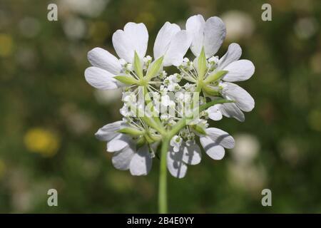 Orlaya grandiflora - Wild plant shot in summer. - Stock Photo