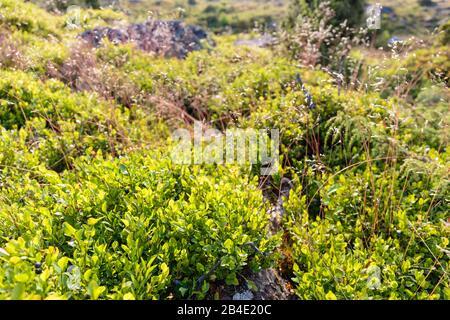 Blueberry bushes (Vaccinium myrtillus) in the Majdal-Heath, Europe, Denmark, Bornholm,