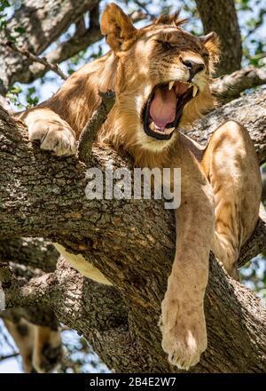 A foot, tent and jeep safari through northern Tanzania at the end of the rainy season in May. National Parks Serengeti, Ngorongoro Crater, Tarangire, Arusha and Lake Manyara. Lions climbing trees and sleeping there ... - in the Serengeti. Yawning tree lion. - Stock Photo