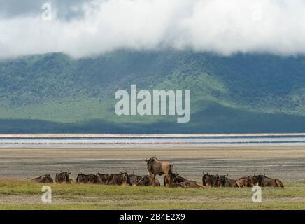 A foot, tent and jeep safari through northern Tanzania at the end of the rainy season in May. National Parks Serengeti, Ngorongoro Crater, Tarangire, Arusha and Lake Manyara. Wildebeest in Ngorongoro Crater.