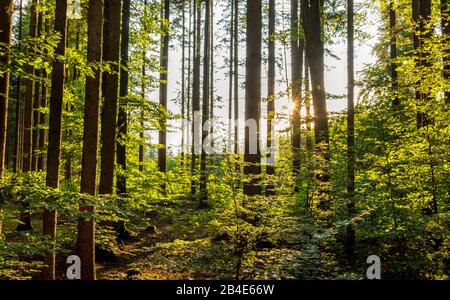Mixed forest with spruce (Picea abies) and beech (Fagus sylvatica) in backlight, Upper Bavaria, Germany, Europe - Stock Photo