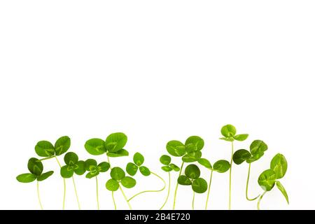 green clover leaves isolated on white background. St.Patrick 's Day - Stock Photo
