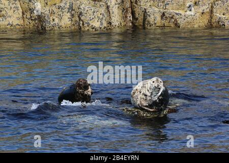 Grey seals (Halichoerus grypus) on submerged rock, Isle of May - Stock Photo