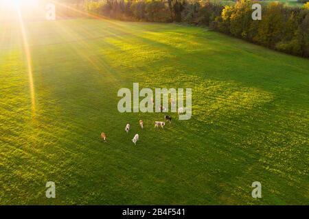 Sunrise, cows on pasture near Thanning, at Egling, drone pickup, Tölzer Land, Upper Bavaria, Bavaria, Germany - Stock Photo