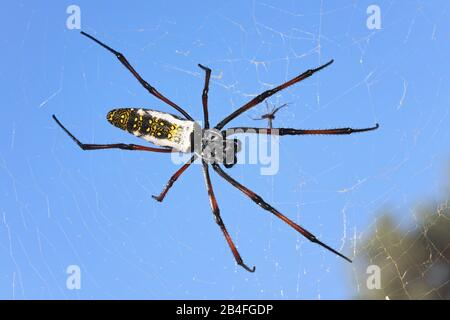 Red legged golden orb weaver spider female - Nephila inaurata madagascariensis, resting on her nest,clear blue sky background. - Stock Photo