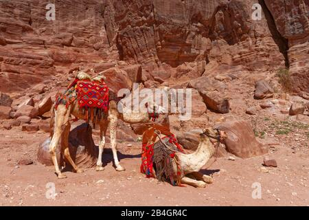 Jordan, camels for tourists in the rock city Petra - Stock Photo