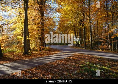 Crossing small country roads in the autumnal beech forest, near Dietramszell, Upper Bavaria, Bavaria, Germany - Stock Photo