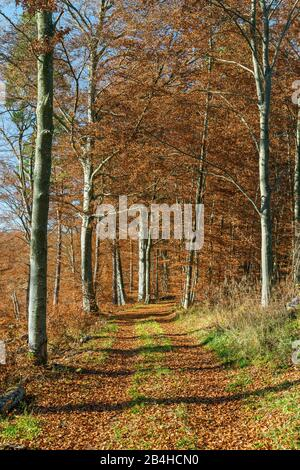 Germany, Baden-Württemberg, Burladingen, forest path through the autumnal beech forest near Hausen in Killertal. - Stock Photo