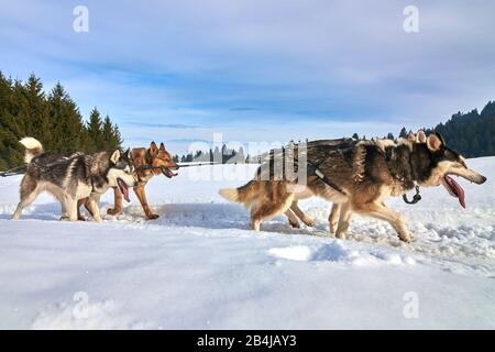 Siberian Husky dogs outdoors, Portrait of a husky dogs participating in the Dog Sled Racing Contest - Stock Photo