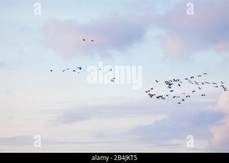 Europa, Deutschland, Niedersachsen, Stinstedt. Ein Schwarm Kraniche (Grus grus) fliegt im Abendlicht über den Stinstedter See, einem klassischen Rastg - Stock Photo