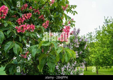 Rügen, flowering chestnut tree, red flower candles, Aesculus hippocastatum - Stock Photo