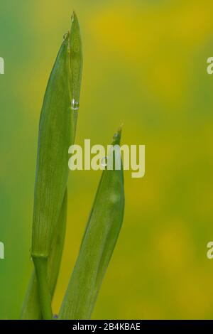 Swamp Iris, Water Iris, Yellow Iris, Iris pseudacorus, Buds - Stock Photo